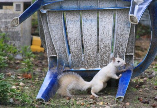 """A great metaphor is like a white squirrel: rare, worth crawling through your yard with a zoom lens to see."" -Oliver Gray (copyright right now)"