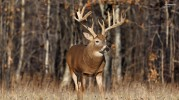 free-whitetail-deer-wallpaper-8-1024x576