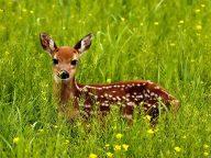 Sika_deer_japanese_deer