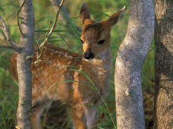 Sitka-Black-Tail-Deer-Fawn