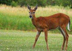 young_buck_deer_ii_by_fdx_dude-d56l92y