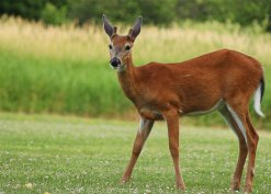 young_buck_deer_ii_by_fdx_dude-d56l92y